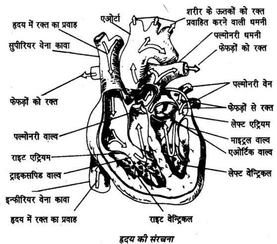 मानव हृदय का वैज्ञानिक विश्लेषण