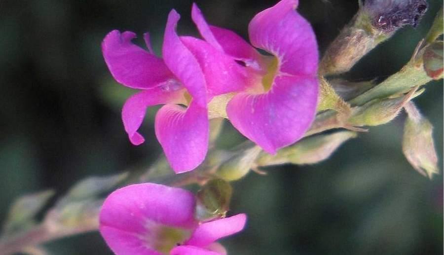 सरफोंका ( शरपुंखा ) के फायदे – sharpunkha plant in hindi